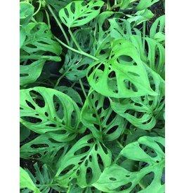 "Swiss Cheese Plant - Monstera adansonii 6"""