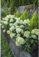 Hydrangea - Hydrangea Paniculata 'Little Lime' 3 Gallon