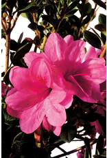 Azalea, Encore - Azalea Rhododendron 'Autumn Empress' 3 Gallon