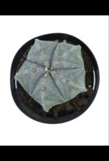 "Cactus - Astrophytum myriostigma 4"""