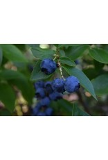 Blueberry, Rabbit Eye - Vaccimium Ashei 'Tifblue' 2 Gallon