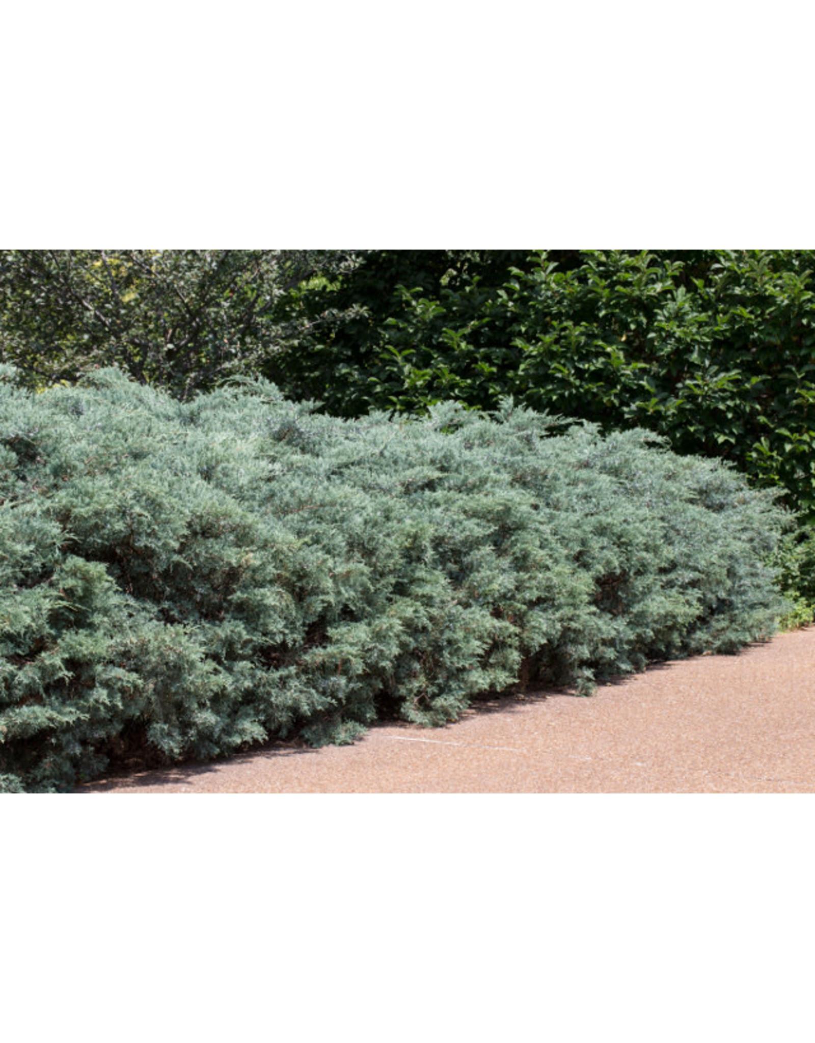 Juniper - Juniperus Virginiana 'Grey Owl' 3 Gallon