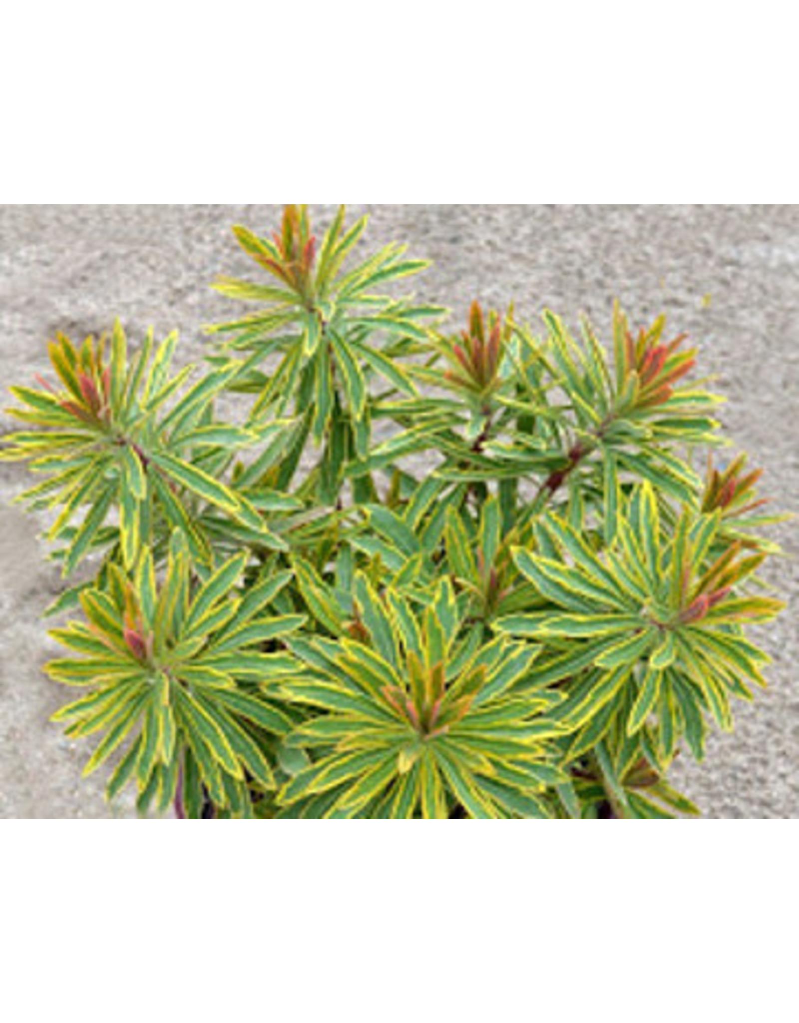 Euphorbia - Euphorbia x Martinii 'Ascot Rainbow'  1 Gallon