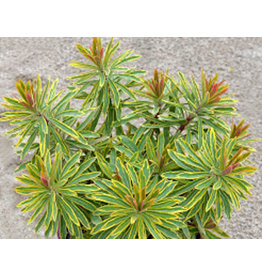 Euphorbia -  'Ascot Rainbow'  1 Gallon