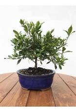 Bonsai, Gardenia - Gardenia Jasminoides 'Radicans'