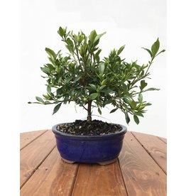 Bonsai, Gardenia - 'Radicans'