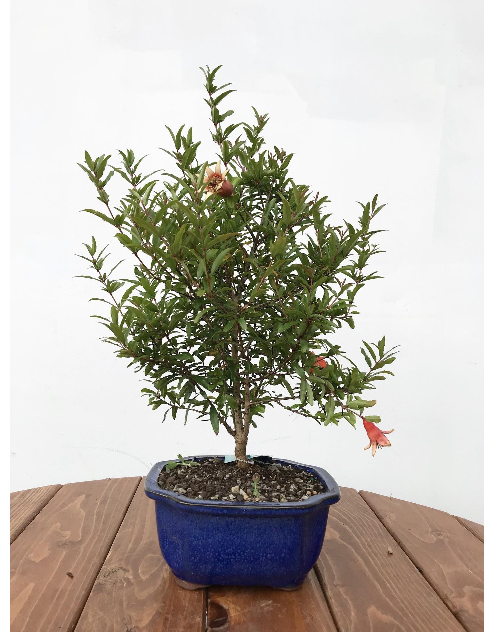 Bonsai, Pomegranate - Punica Granatum Small