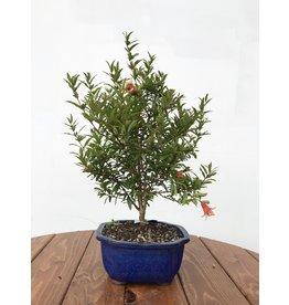 Bonsai, Pomegranate - Small