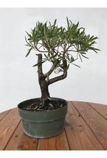 "Pre-Bonsai, Buttonwood - Conocarpus Erectus ""Card Sound"" 8"""