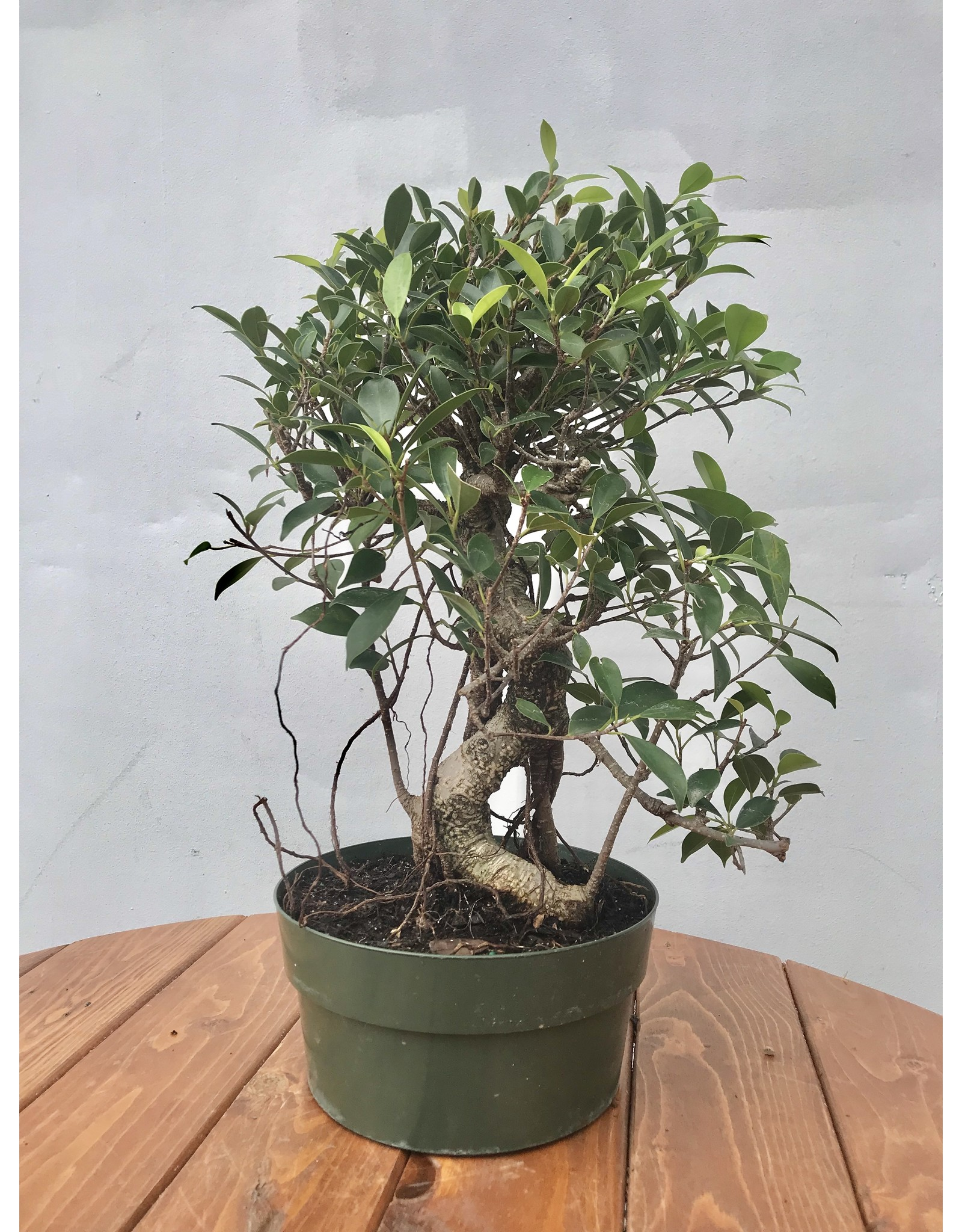 Bonsai, Ficus - Ficus Microcarpa 'Tiger Bark' Small