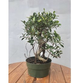 Bonsai, Ficus - 'Tiger Bark' Small