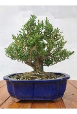 Bonsai, Boxwood Harland - Buxus Harlandii