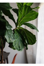 "Fiddle Leaf Fig - Ficus Lyrata 10"" Bush"