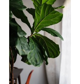 "Fiddle Leaf Fig - 10"" Bush"