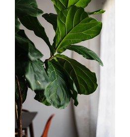 "Fiddle Leaf Fig - 6"""