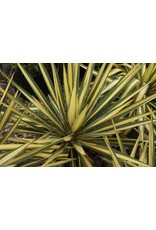 Yucca - Yucca Filamnetosa 'Color Guard' 3 Gallon