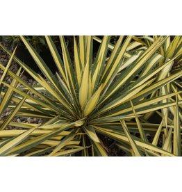 Yucca - 'Color Guard' 3 Gallon