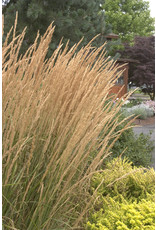 Feather Reed Grass - Calamagrostis x Acutiflora 'Karl Foerster' 3 Gallon
