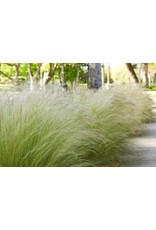 Mexican Feather Grass - Nassella Tenuissima 3 Gallon