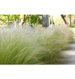Mexican Feather Grass - 3 Gallon