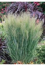 Switch Grass, Northwind - Panicum Virgatum 'Northwind' 3 Gallon