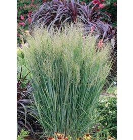 Switch Grass, Northwind - 'Northwind' 3 Gallon