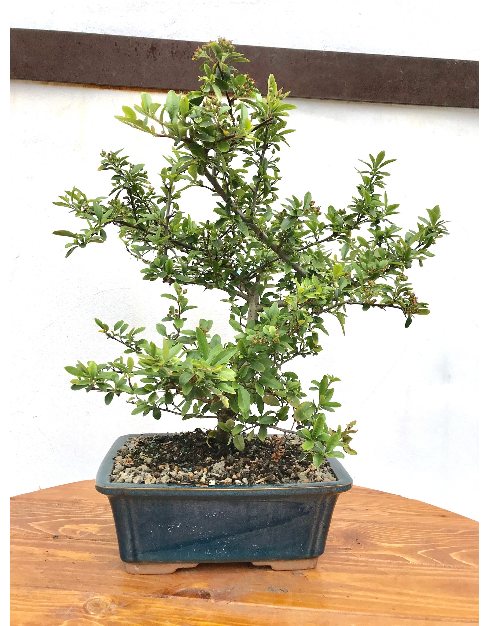 Bonsai, Dwarf Pyracantha - Pyracantha 'Red Cushion'