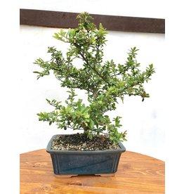 Bonsai, Dwarf Pyracantha - 'Red Cushion'