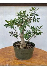 Bonsai, European Olive 1