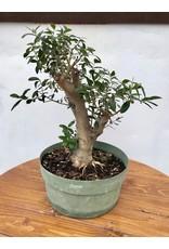 Bonsai, European Olive 2