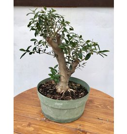Bonsai, European Olive 2