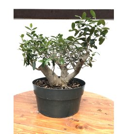 Bonsai, European Olive 3