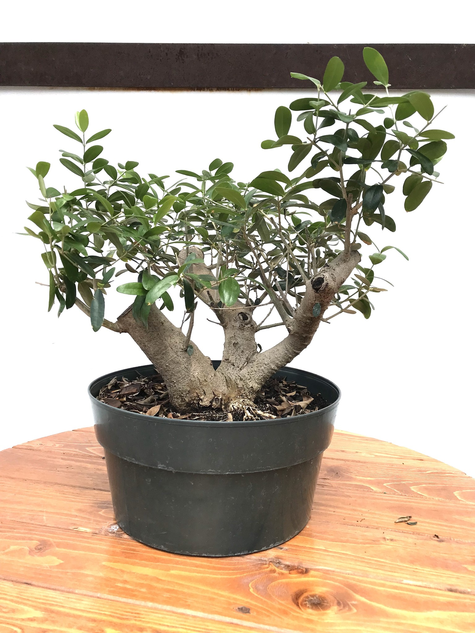 Bonsai European Olive 3 Gardens Of Babylon