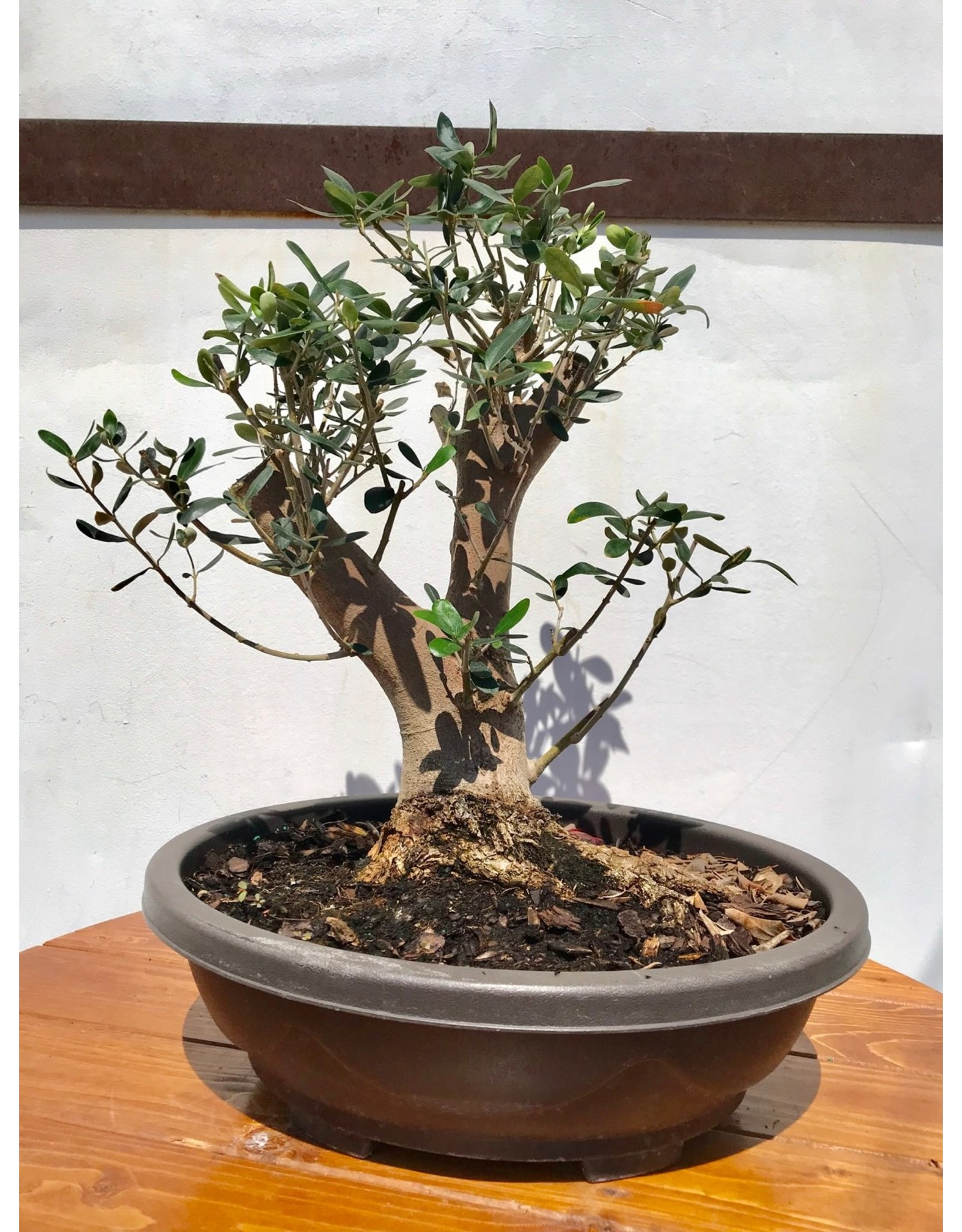 Bonsai, European Olive 5