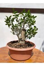 Bonsai, European Olive 6