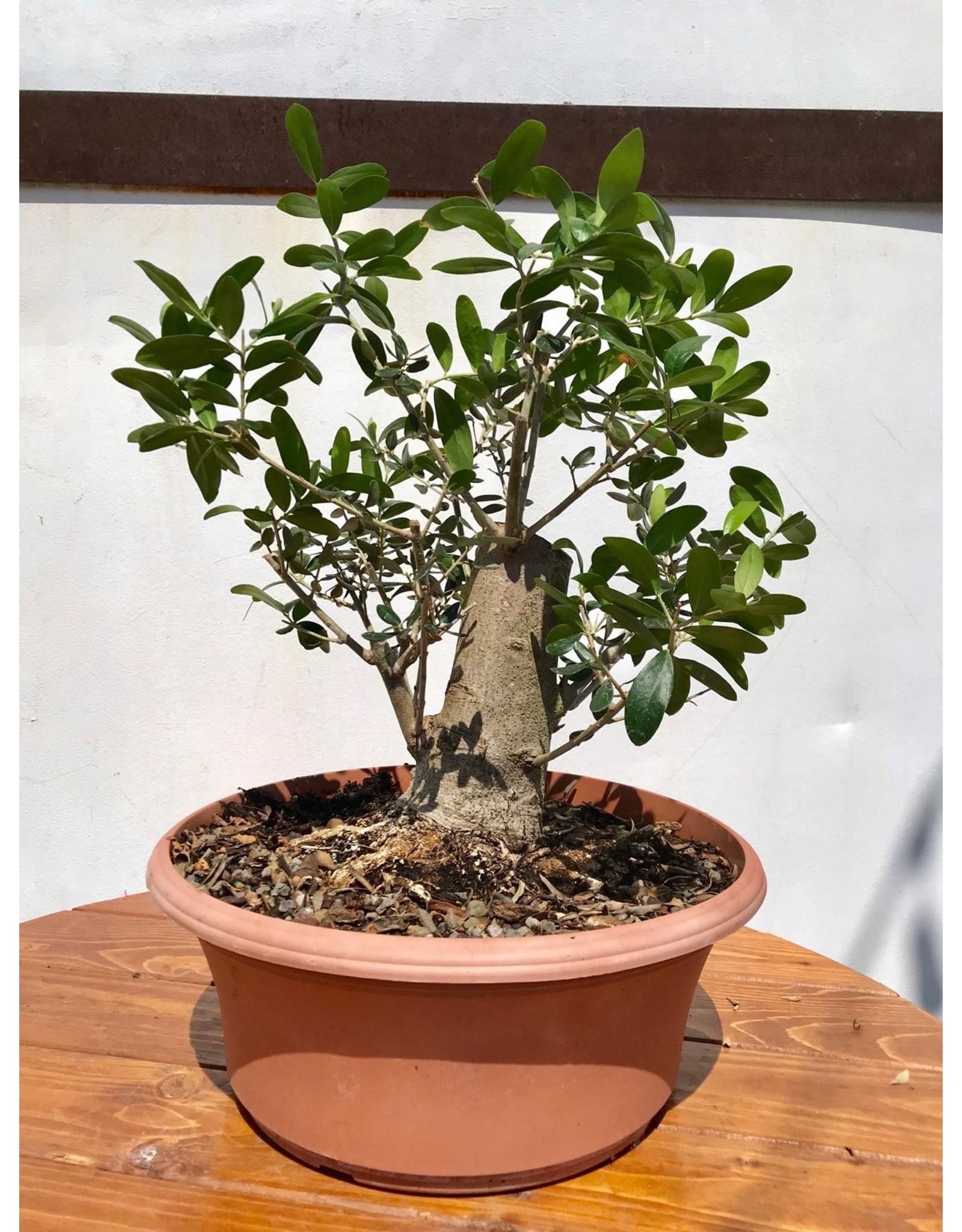 Bonsai, European Olive