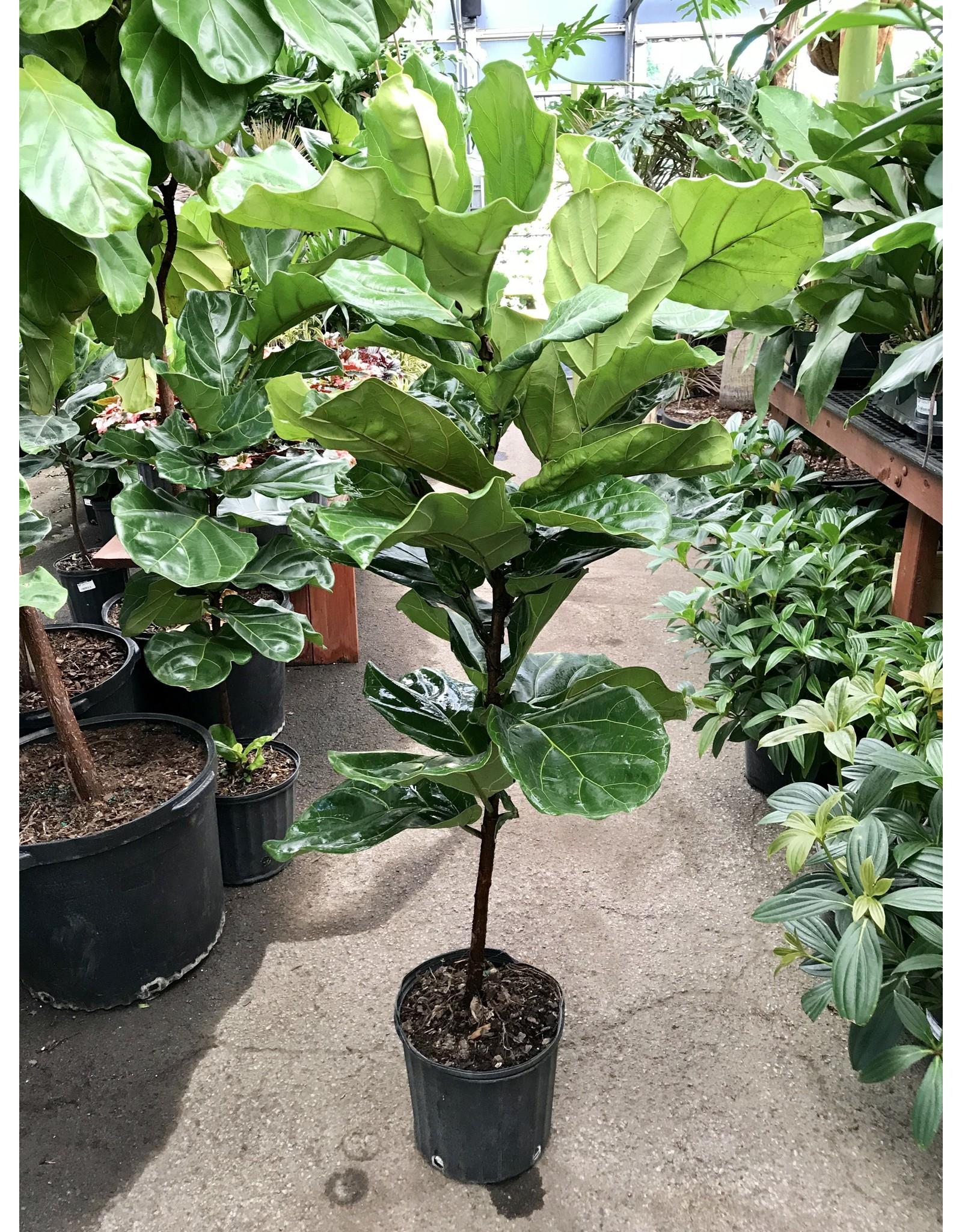 "Fiddle Leaf Fig - Ficus lyrata 10"" Standard"