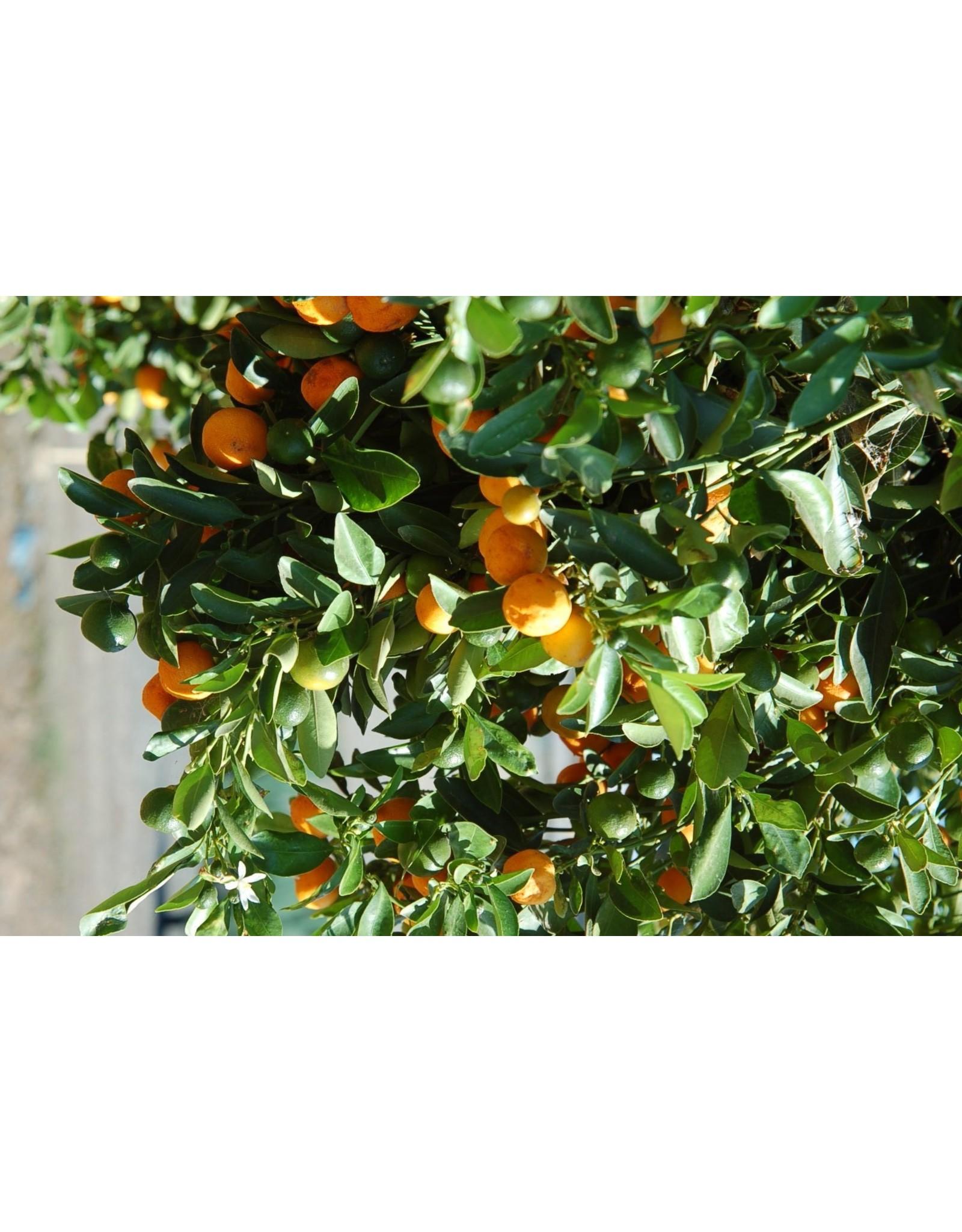 Calamondin Orange - Citrofortunella Microcarpa #3