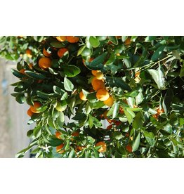 Calamondin Orange - 3 Gallon