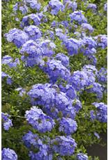 Tropical Plumbago - Plumbago Auriculata 'Blue' #3