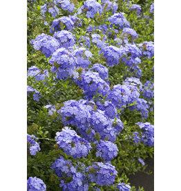 """Tropical Plumbago - Plumbago Auriculata 'Blue' 10"""""""