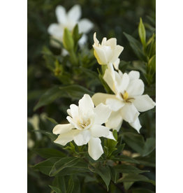 Gardenia, Hardy - 'Frost Proof' 3 Gallon