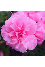 Azalea, Bloom-A-Thon - Azalea Rhododendron 'Pink Double' - 3 Gallon