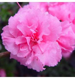 Azalea, Bloom-A-Thon - 'Pink Double' 3 Gallon