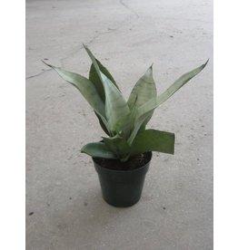 Snake Plant - Sansevieria trifasciata 'Superba Moonshine'