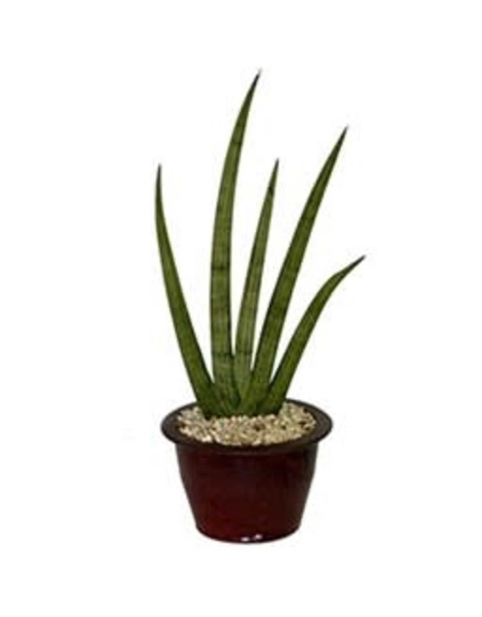"Snake Plant - Sansevieria Cylindrica 6"""