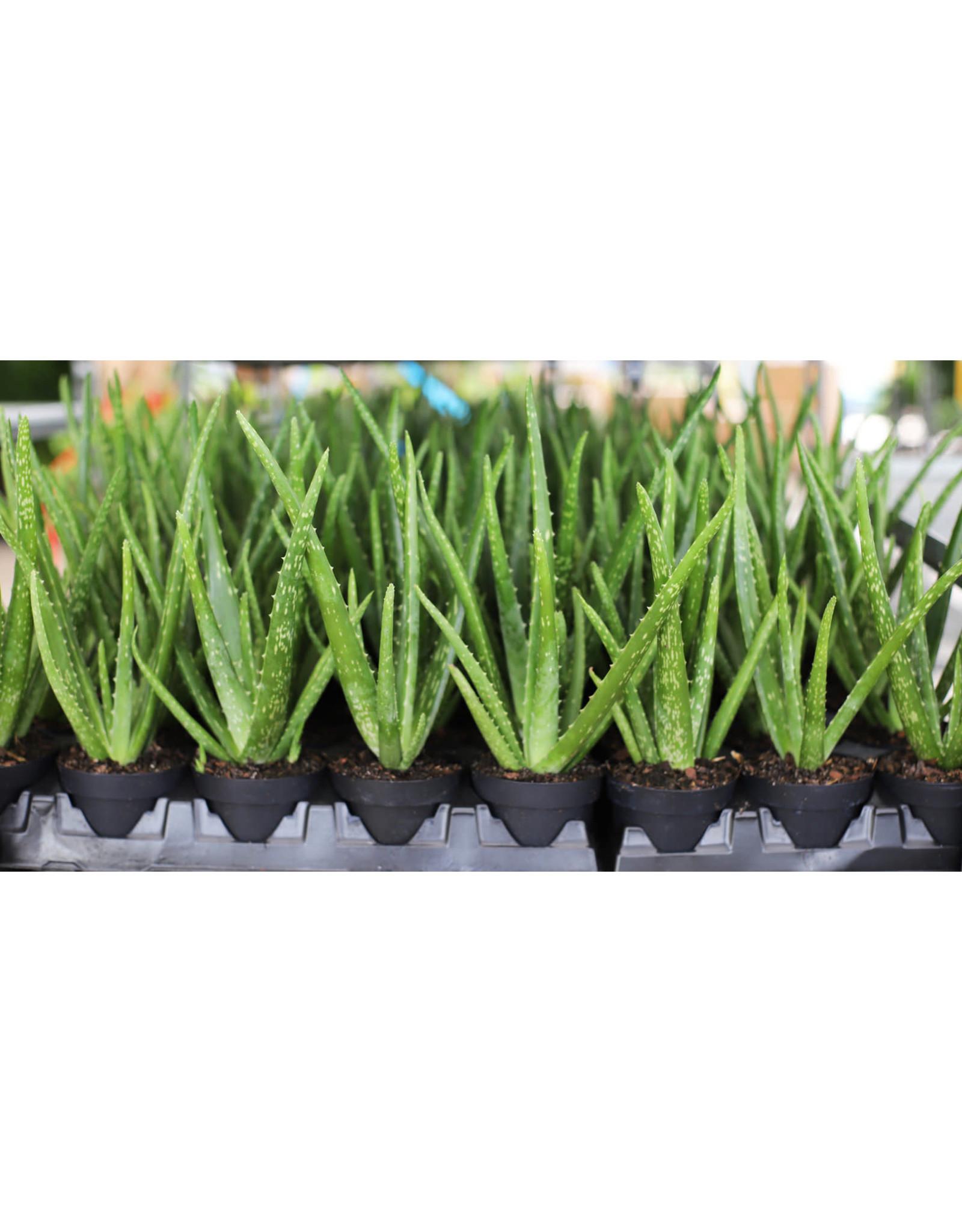"Aloe Vera - Aloe Barbadensis 4"""