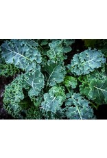 Kale, Blue Curled - 4 pack