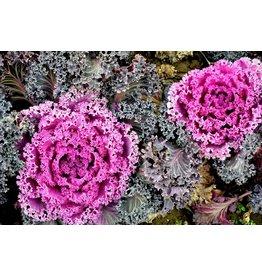 "Ornamental Kale - Coral Queen - 5.5"""