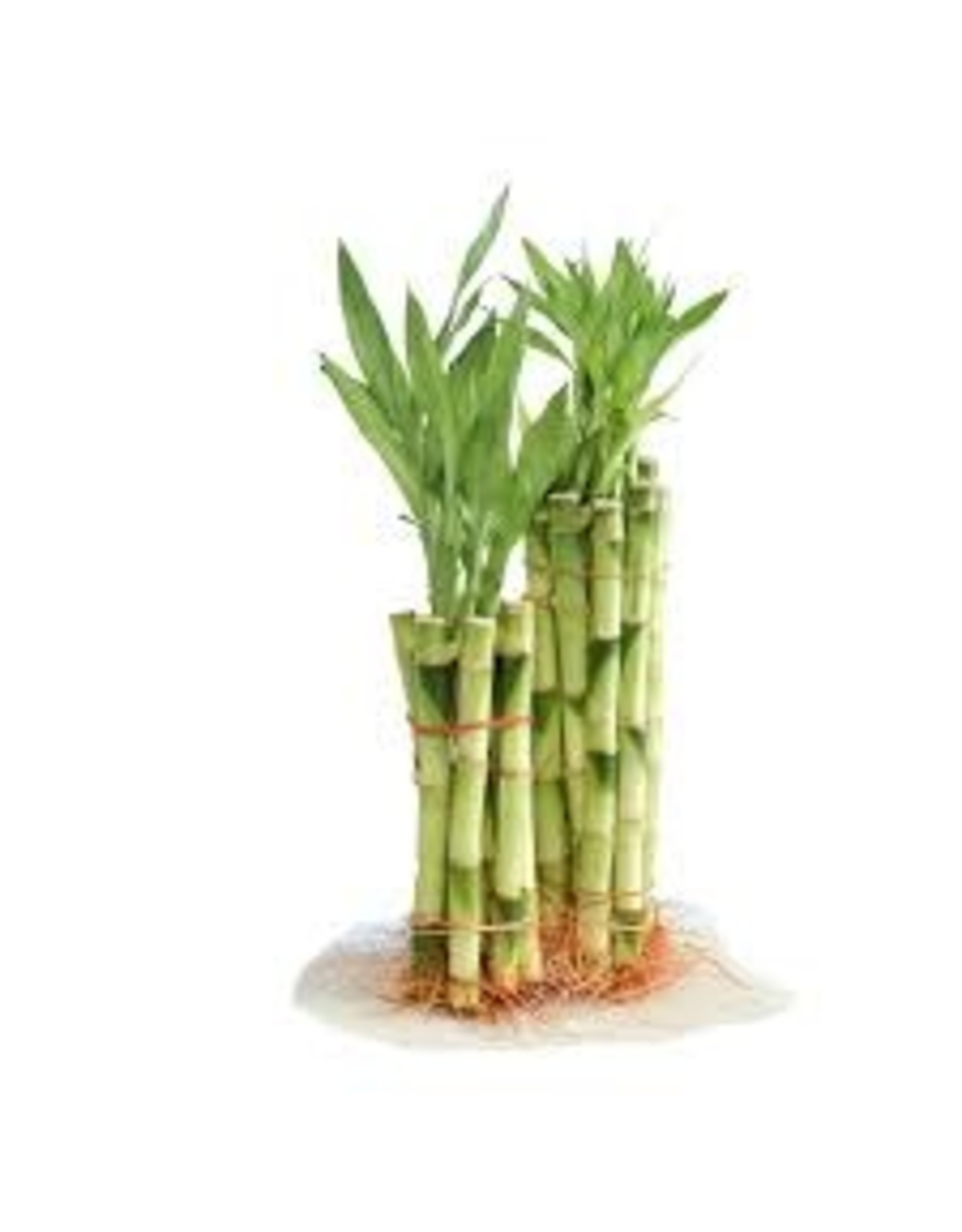 "Lucky Bamboo Stalk - Dracaena Braunii 6"""
